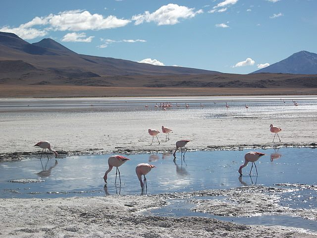 travel and talk el salar flamingoes photograph,travel bolivia,bolivia photograph,matt thomas travel writing,travel bolivia.