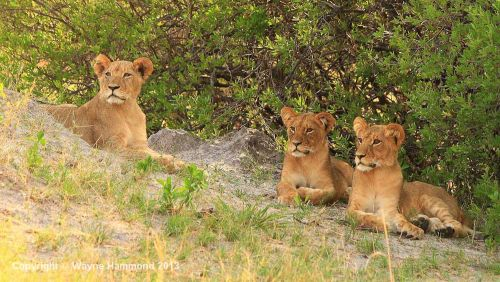 travel and talk zimbabwe lions photograph,travel zimbabwe,travel writing wayne hammond,travel africa,photograph africa,photograph zimbabwe lion